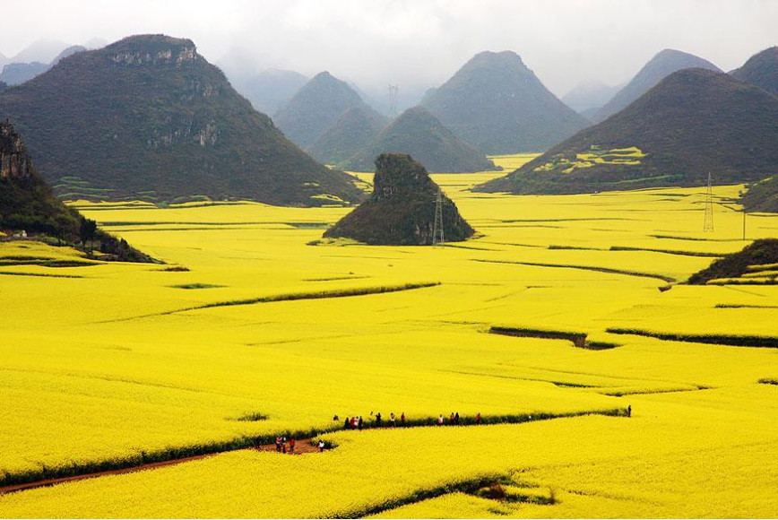 Canola Fields, China