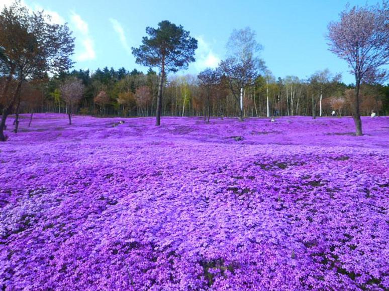 Flores Shibazakura, Takinoue Park, Japan